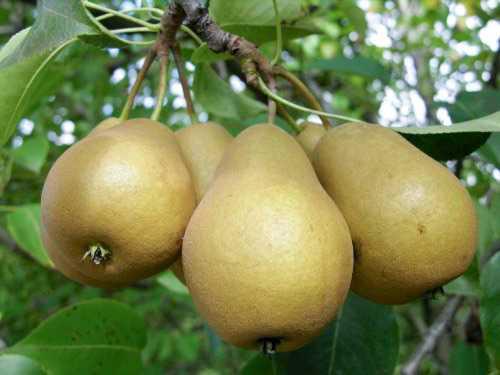 Садовая груша в средней полосе россии