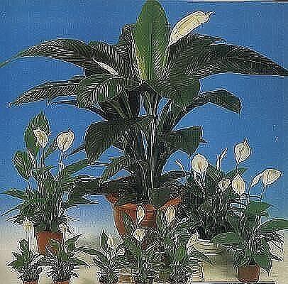 Почему спатифиллум после пересадки опустил листья, почернел или пожелтел, и завял? советы по уходу и реанимации