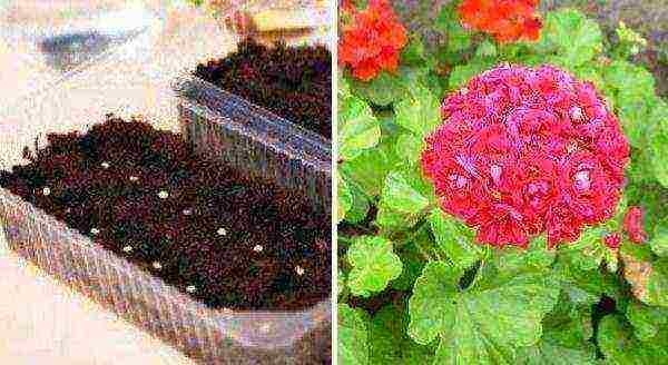 Как выращивать герань в домашних условиях из семян