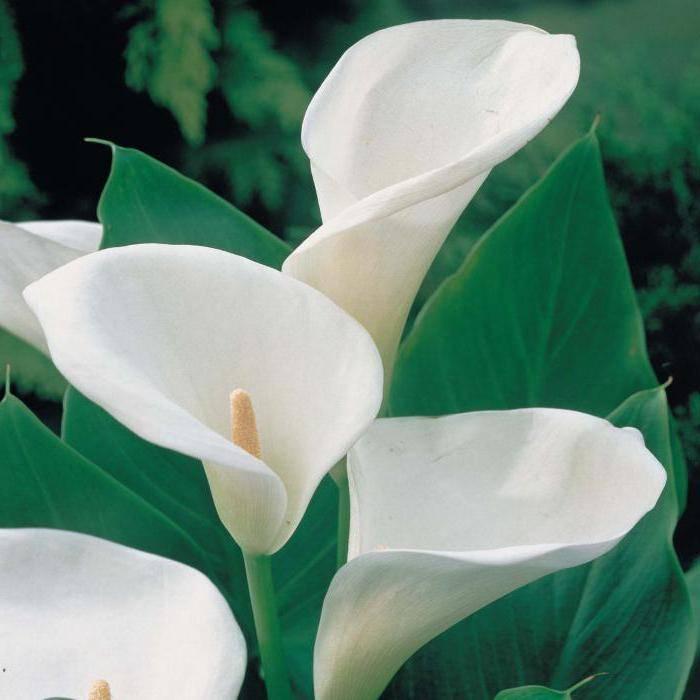 Зантедеския эфиопская, описание растения, сорта
