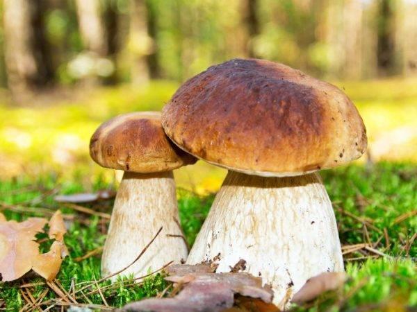 Съедобные грибы: описания и виды