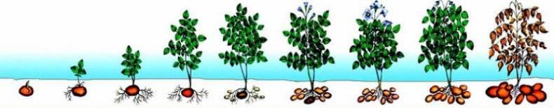Что такое вегетация растений?