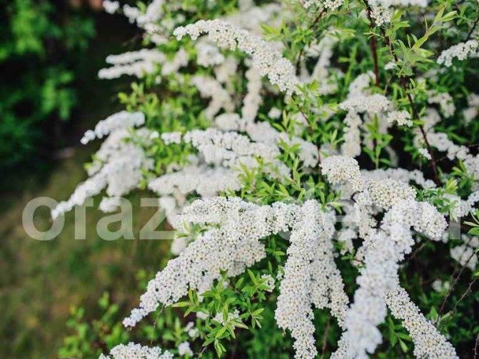 Спирея: посадка в открытый грунт и уход, выращивание в саду