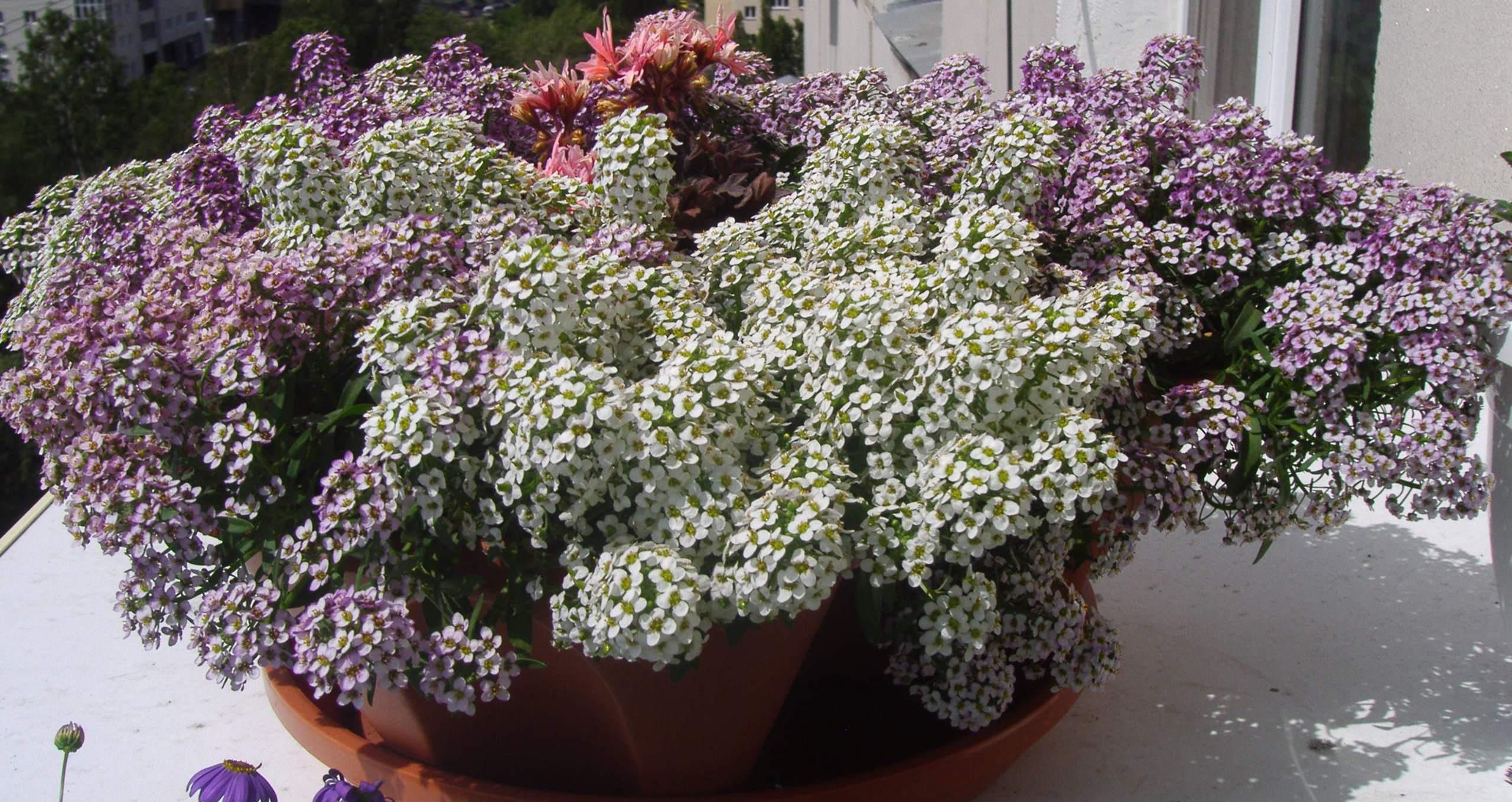 Бакопа: фото, выращивание из семян, посадка и уход