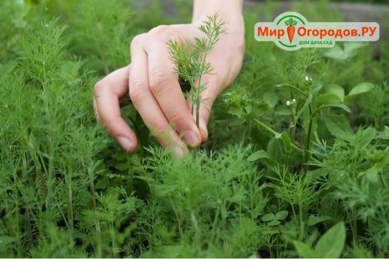 Лучшие сорта укропа для выращивания на грядке. ранние, кустовые и другие разновидности