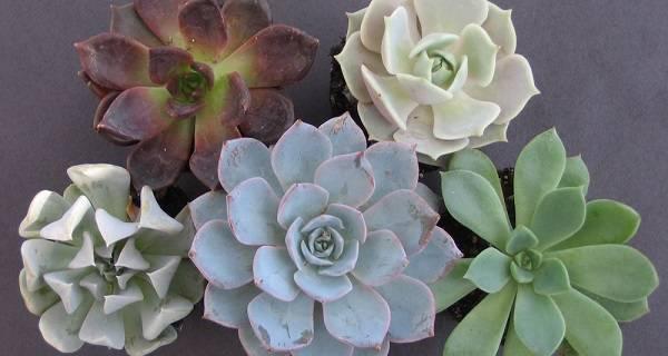 Каменная роза — приметы и суеверия о эхеверии