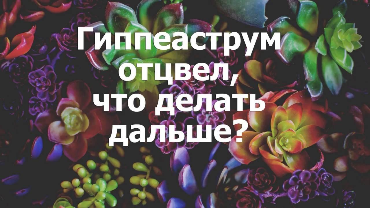 Гиппеаструм: секреты беспрерывного цветения