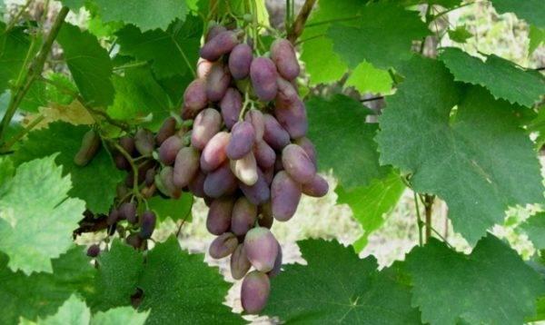 Краса севера: выращиваем морозоустойчивый виноград на садовом участке