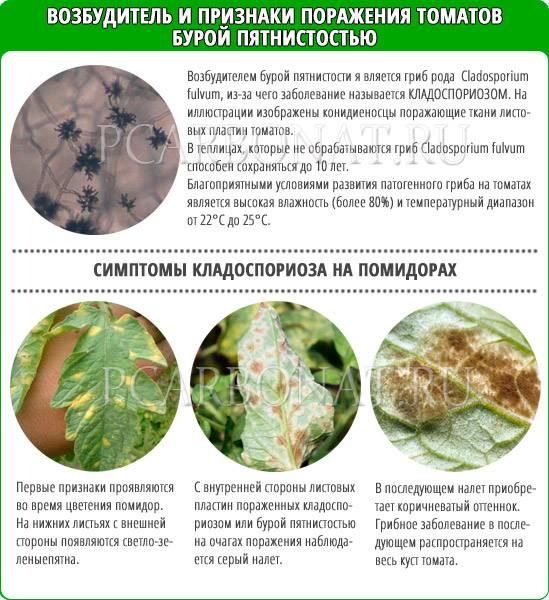 Септориоз томатов: признаки болезни, меры лечения и профилактики