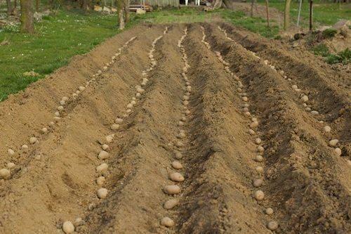 Удобрение для картофеля при посадке: основные правила подбора и внесения
