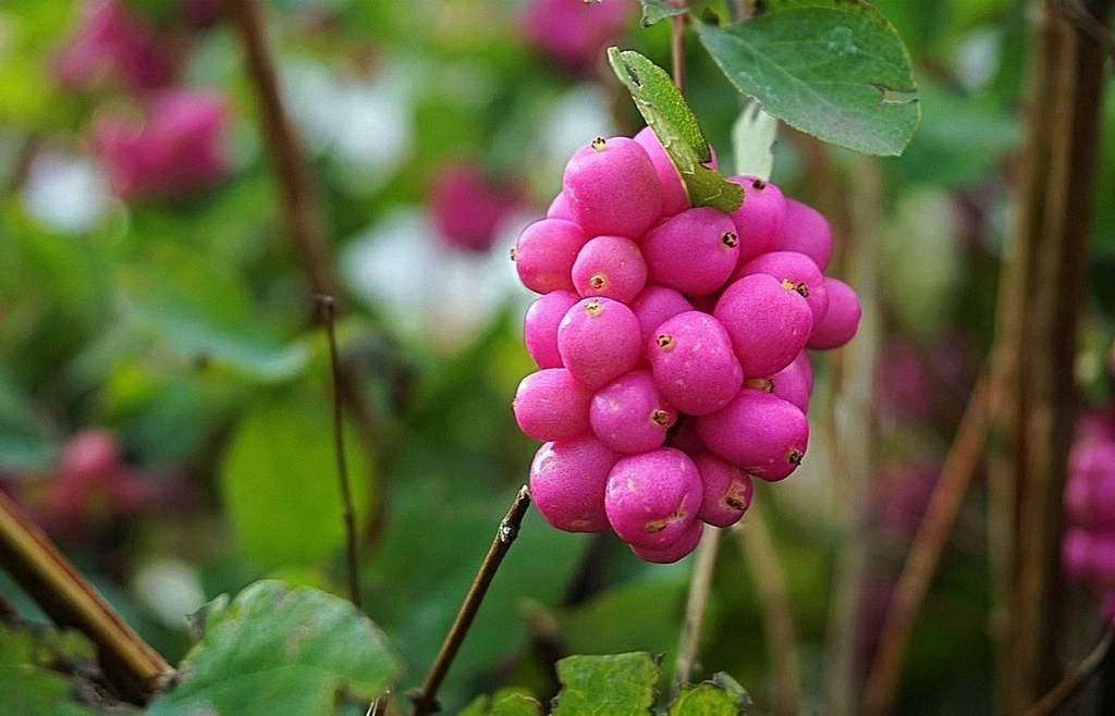 Снежноягодник – эффектный кустарник для осени и зимы