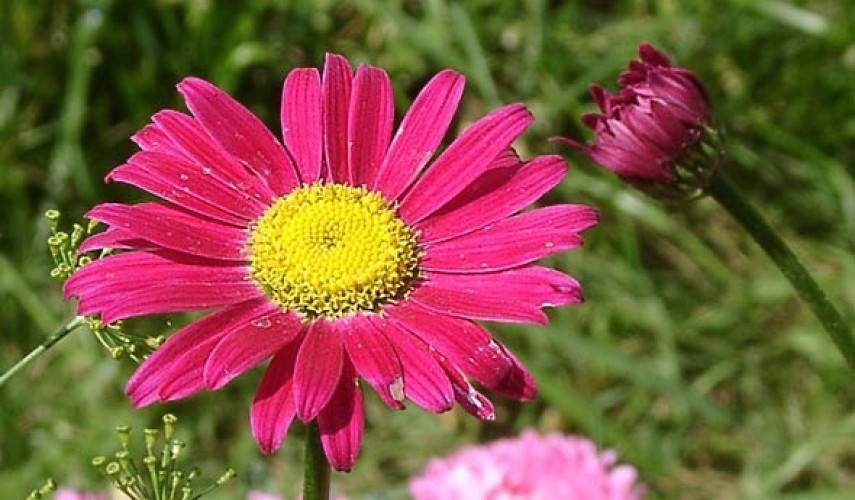 Пиретрум девичий и розовый, особенности выращивания