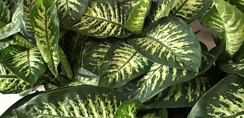 Как выращивать диффенбахию: посадка и уход за цветком, фото