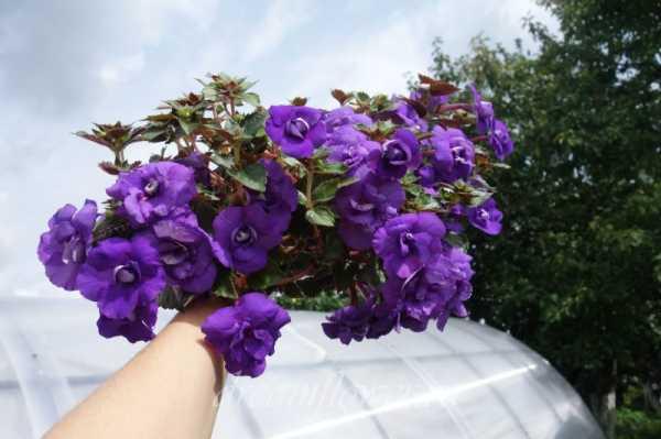 Ахименес: все нюансы ухода за цветком и его выращивания в домашних условиях + фото и видео