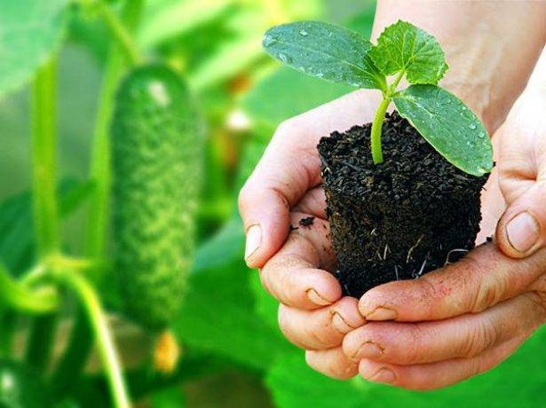Выращивание и уход за рассадой огурцов в домашних условиях