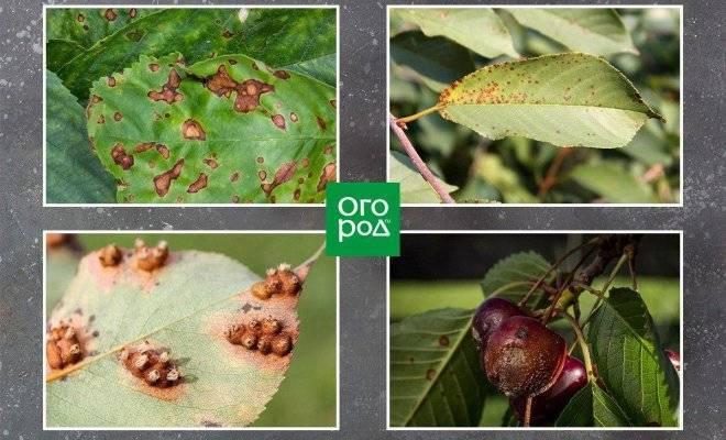 Защита вишни от вредителей — когда и чем опрыскивать вишневый сад?