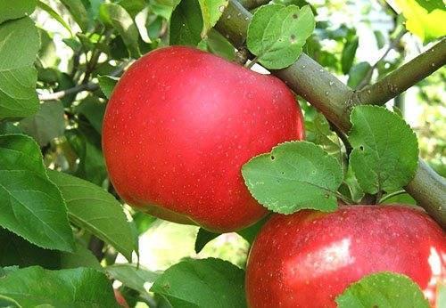 Сорт яблони Северный Синап - как выбрать, посадить, видео