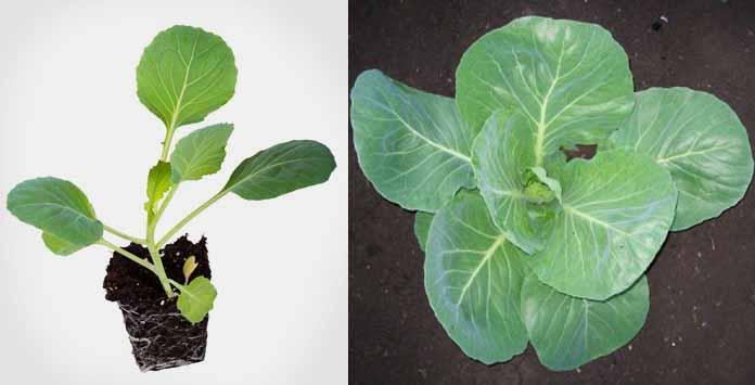 Благоприятные дни для посева капусты в 2020 году