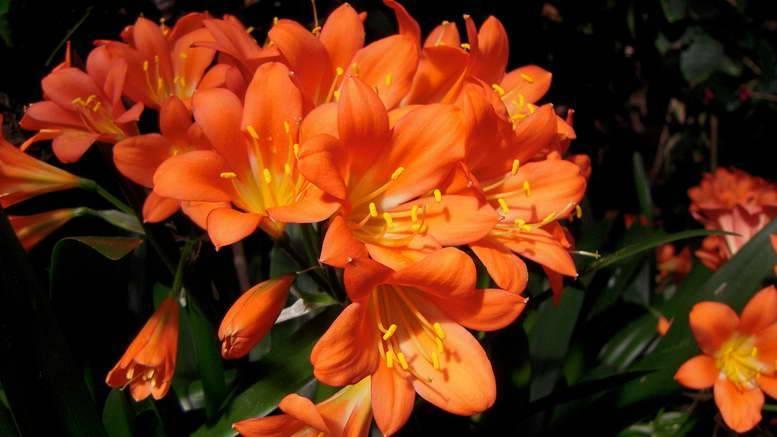 Выращиваем дома кливию — цветущий декоративный многолетник