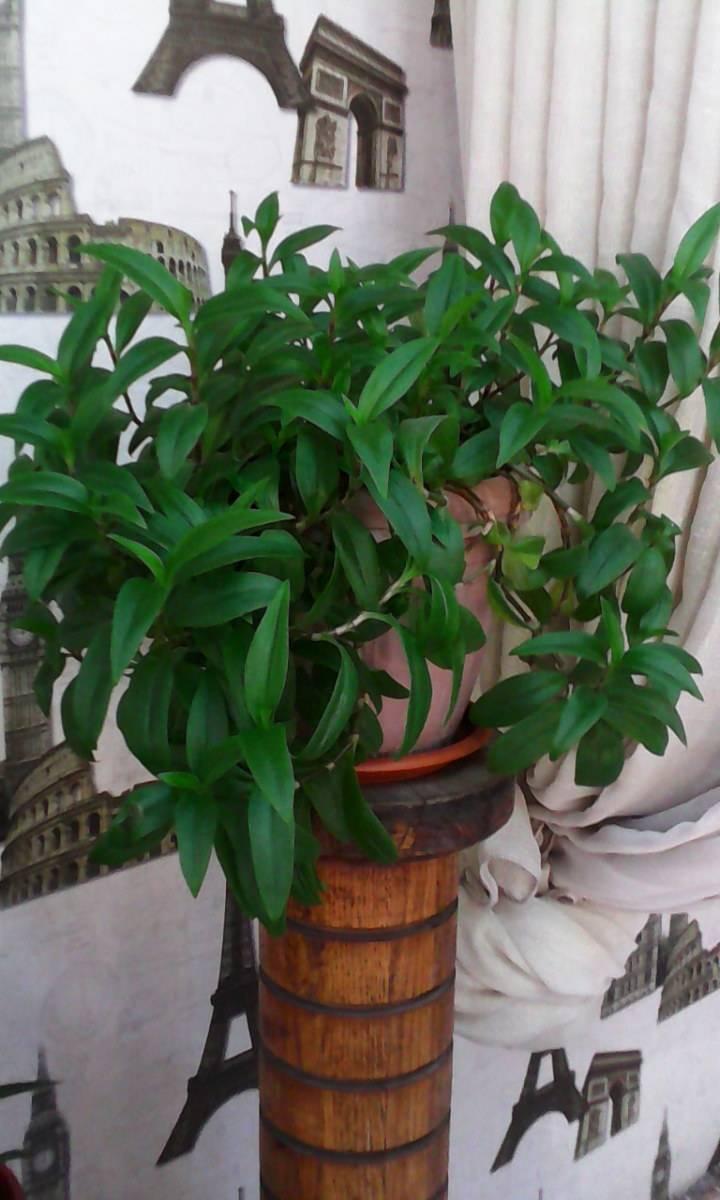 Ус золотой (callisia fragrans) — комнатный цветок