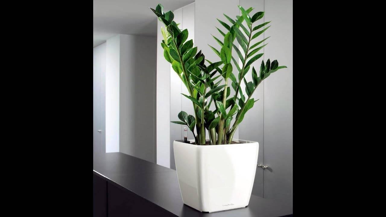 Уход за замиокулькасом (долларовым деревом) в домашних условиях