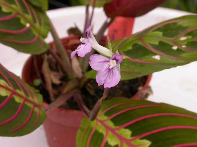 Маранта трехцветная: молитвенное растение (и другие виды с фото)