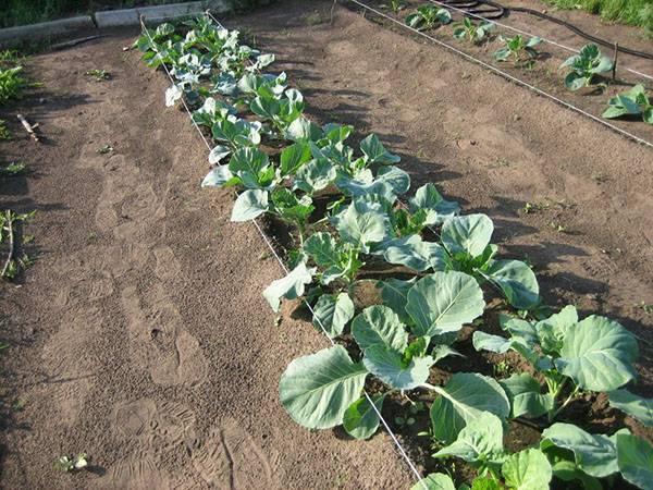 Успешное выращивание и уход в открытом грунте за брокколи
