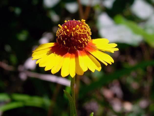Гелениум: посадка, уход и выращивание