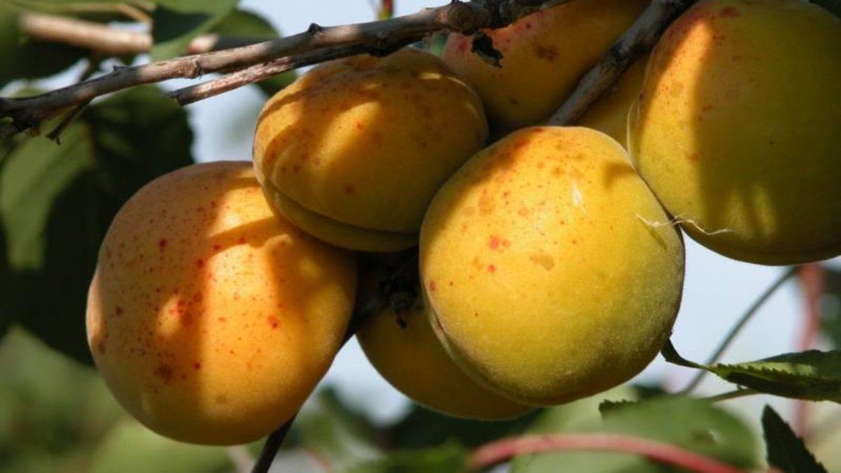 Зачем нужна обрезка абрикоса, ее виды и сроки