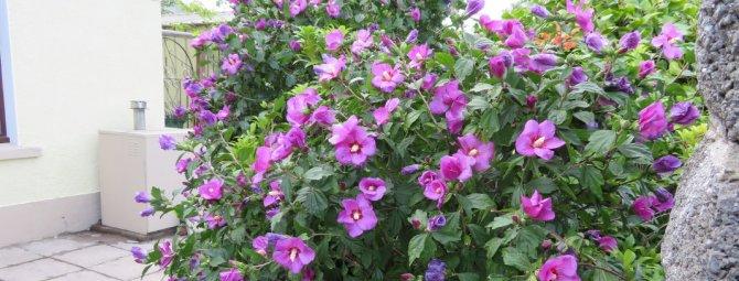 Гибискус садовый: виды, уход и размножение, зимовка, фото