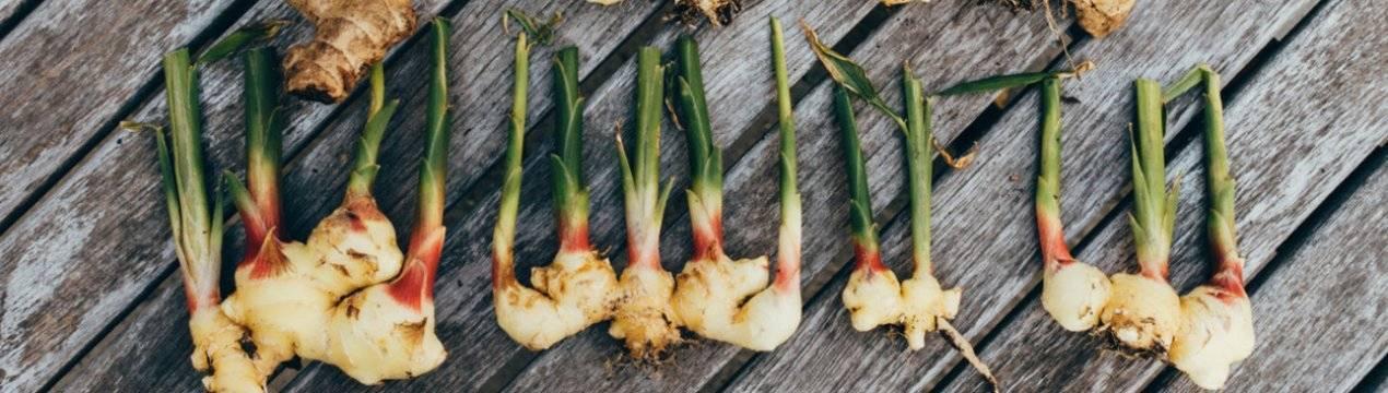 Как выращивать и ухаживать за имбирем на даче в открытом грунте и когда собирать урожай