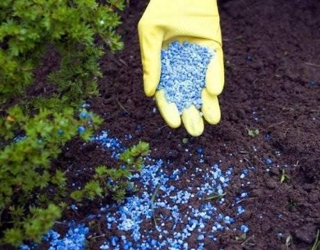 Нужно ли использовать удобрение для хвойных растений и зачем