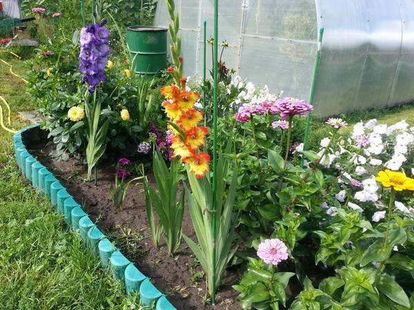 Луковицы гладиолуса: как выбрать хорошие и качественные экземпляры
