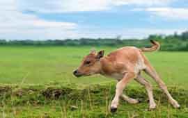 Что делать, если теленок не встает на ноги?