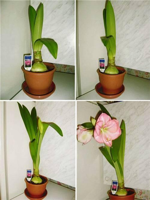 Цветок гиппеаструм — уход в домашних условиях и в открытом грунте