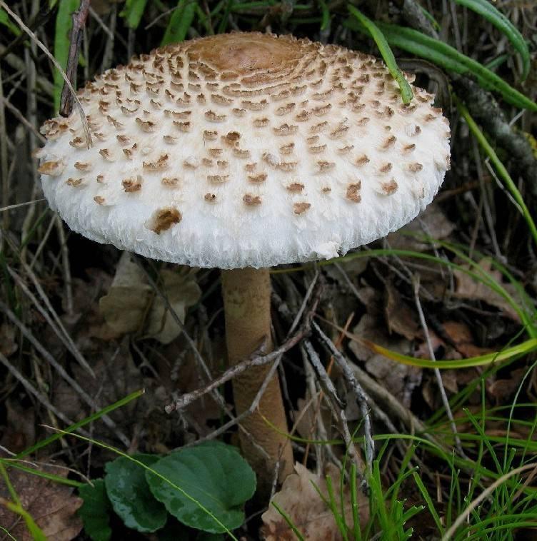 Как приготовить гриб зонтик пестрый