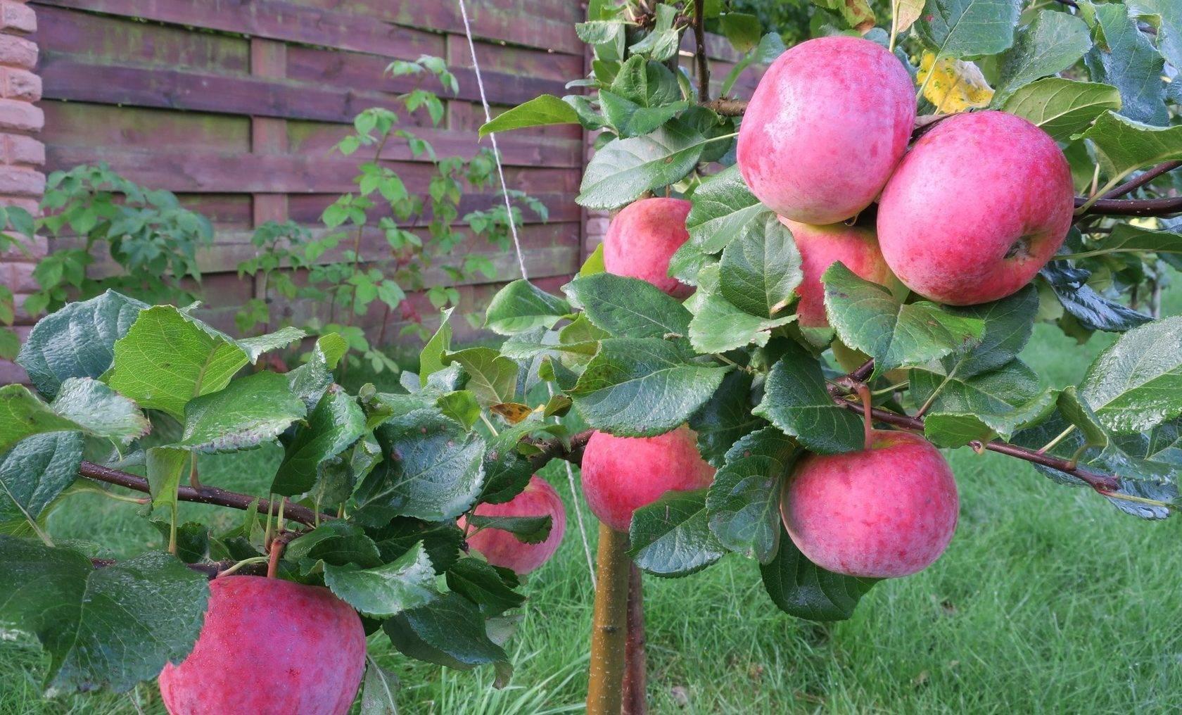 сорт яблони ломоносовское фото и описание сорта пору