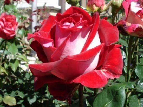 Волшебные красавицы в вашем саду. знакомьтесь, чайно-гибридные розы!