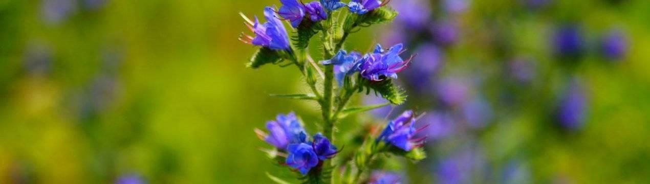 Полезные свойства и вред аспарагуса как декоративного цветка и пищевого продукта