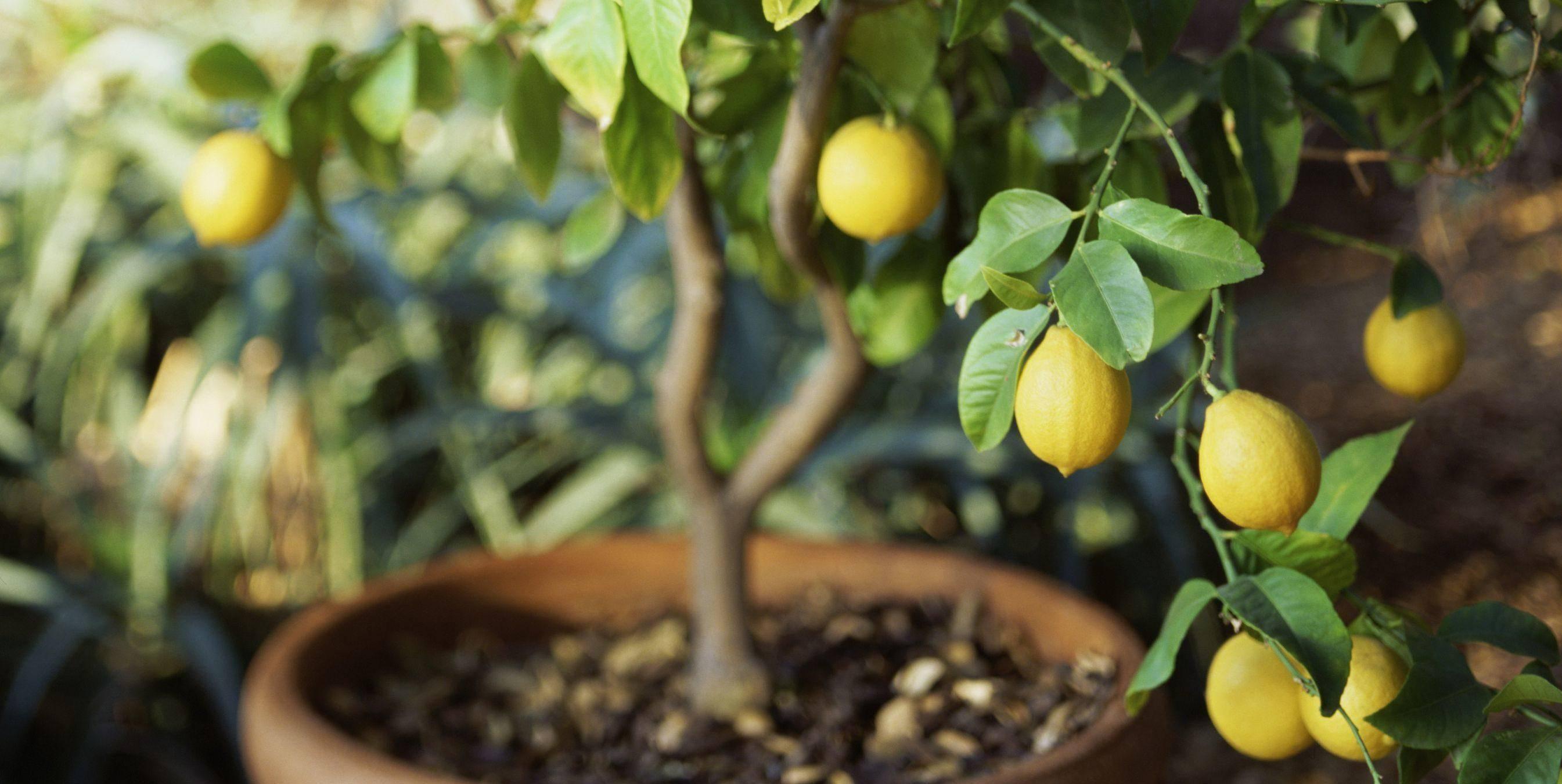 Как обрезать лимон – формирование кроны и уход за лимоном в домашних условиях (115 фото)