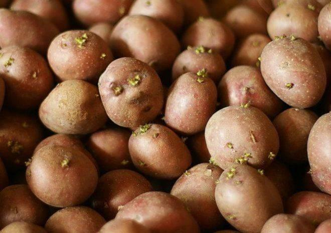 Урожай картофеля уже в конце июня — видео
