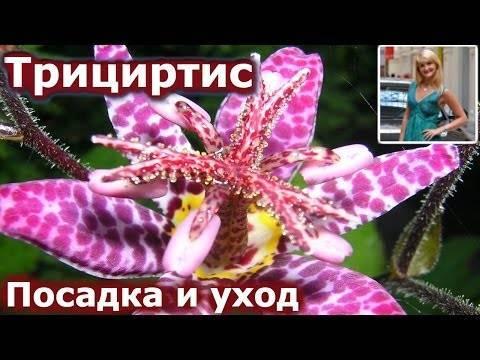 Как правильно выращивать садовую орхидею (трициртис)