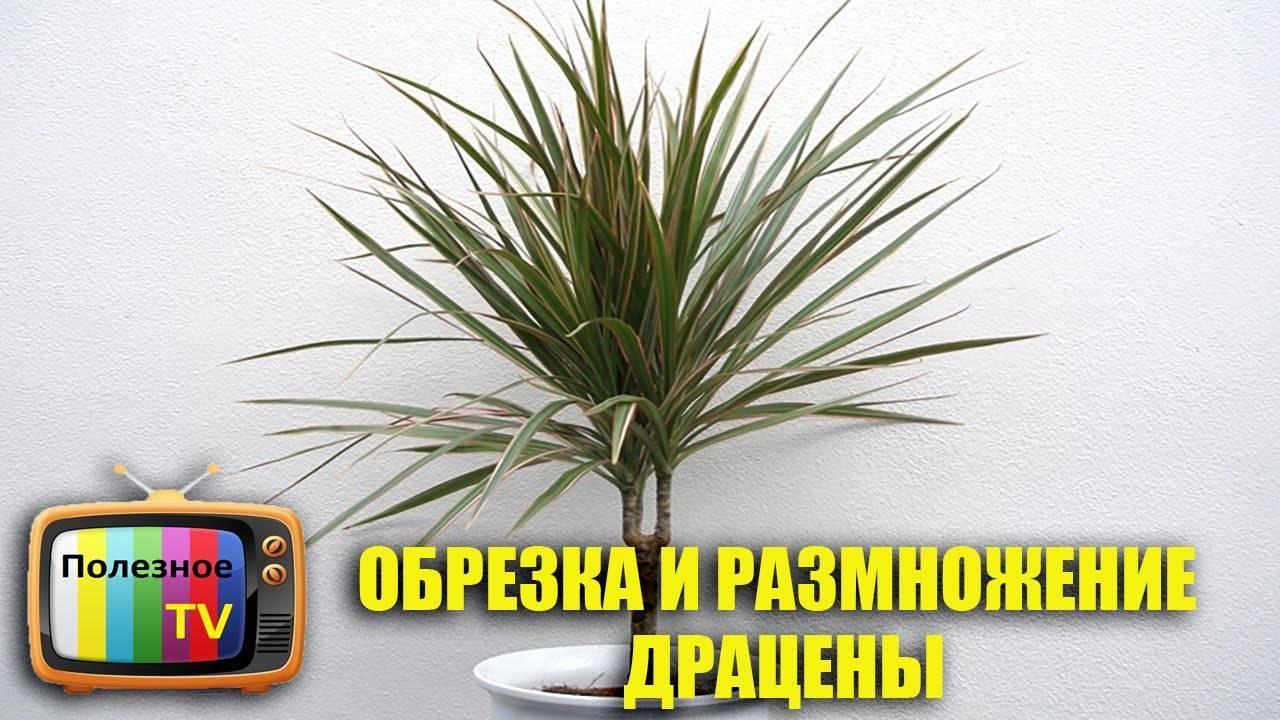 Как выращивать драцену маргината (окаймленную)