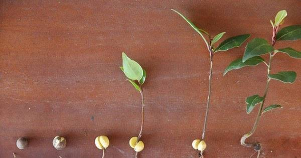 Выращивание лавра в открытом грунте на даче, как посадить, видео