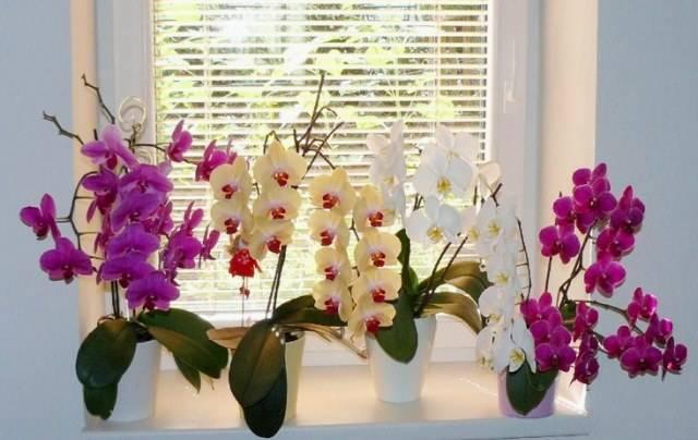 Янтарная кислота для орхидей – чем полезны таблетки, как их правильно разводить и применять для подкормки растений, правила полива