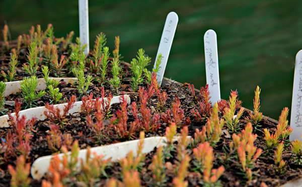 Растение эрика – виды, посадка и уход в открытом грунте