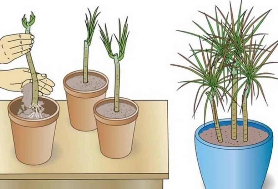 Способы размножения драцены в домашних условиях