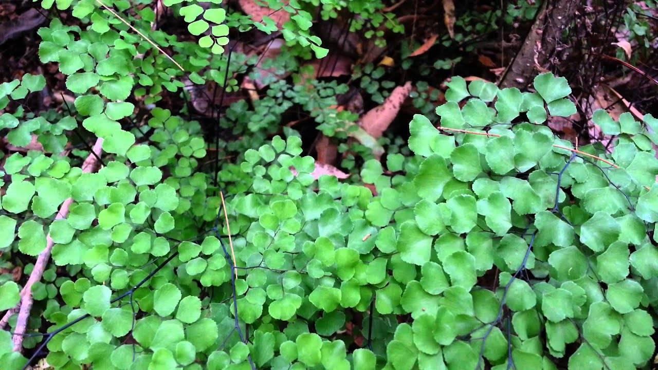 Растение адиантум: описание, выращивание, виды