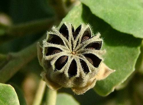 Выращивание абутилона из семян. как выращивать абутилон из семян дома