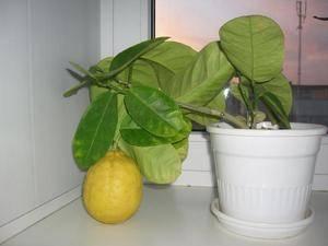 Комнатный лимон: выращивание